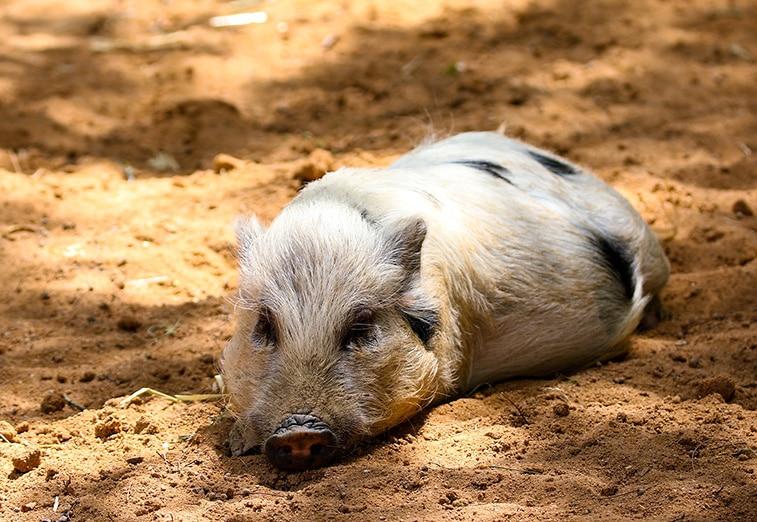 minischwein haltung