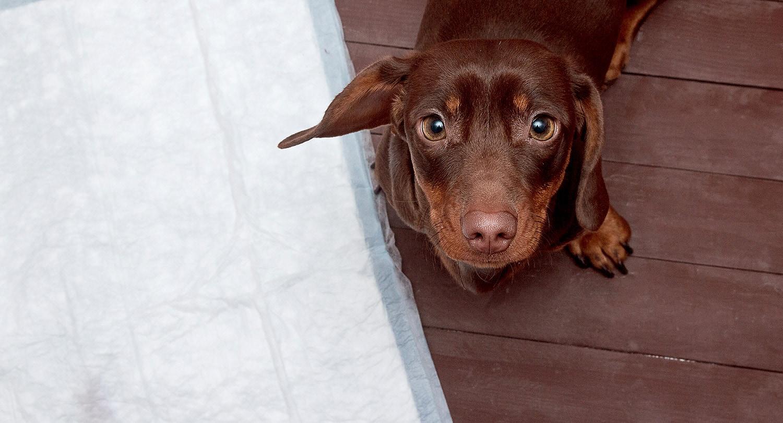 Hund Auf Toilette
