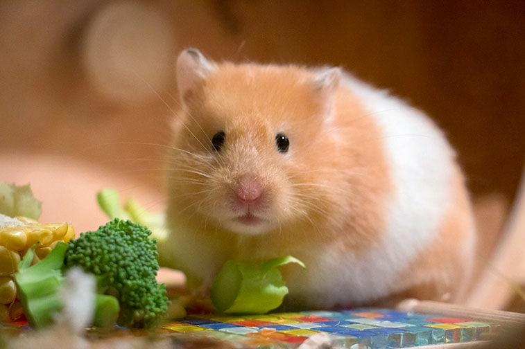 haltung hamster